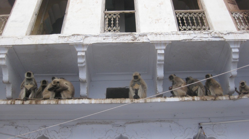 A band of hooligan monkeys, waiting for their chance to pounce and infect us....