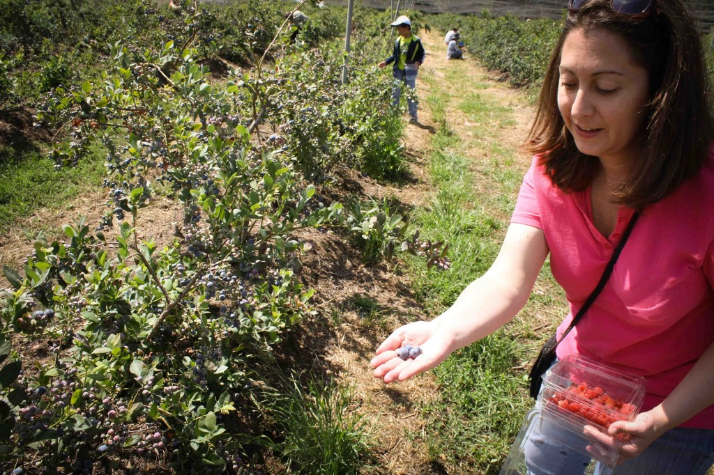 Picking blueberries is the easiest. They fall right into your hand.